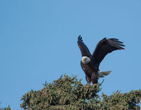 Bald eagle in a tree Stock Photography