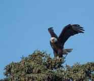 Bald eagle in a tree Royalty Free Stock Photography