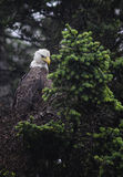 Bald eagle on a tree. A bald eagle sits on a pine tree in the harbor of Valdez Alaska Royalty Free Stock Photography