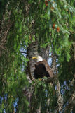 Bald Eagle. In Tree on the west coast of Canada Royalty Free Stock Photos