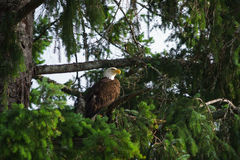 Bald Eagle. In Tree in western Canada Stock Photos