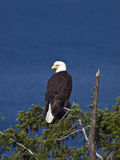 Bald Eagle on Treetop. Bald Eagle on a treetop watching over the ocean and its nest nearby Stock Photos