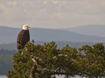 Bald Eagle on Treetop. Mature Bald Eagle sitting in a Fir Tree with Vancouver Island in the background Royalty Free Stock Image