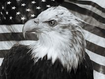 Bald Eagle U.S.A flag portrait. Black and white bald eagle portrait in front of United States American flag Stock Photo