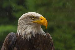 Bald eagle under the rain looking around for a meal stock photos