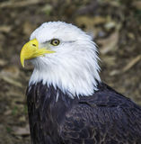 Bald Eagle Up-close Royalty Free Stock Photography