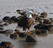 A bald eagle at valdez Royalty Free Stock Photography