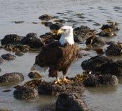 A bald eagle at valdez Royalty Free Stock Image