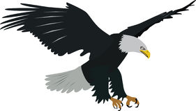 Bald eagle vector. Flying and preying bald eagle vector vector illustration