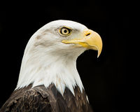 Bald Eagle VII Royalty Free Stock Image