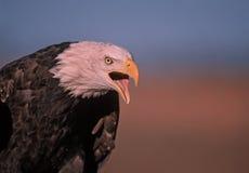 Bald eagle vocalizing. Bald eagle calling,head shot Royalty Free Stock Photography