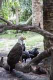 Bald Eagle with Vultures Stock Photos