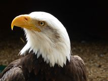 Bald eagle looking out at the world stock images