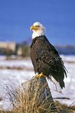 Bald Eagle watch Stock Photography