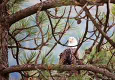 Bald Eagle watching Royalty Free Stock Photo