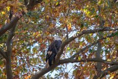 A Bald Eagle perched on a branch surrounded by Autumn leaves stock photo