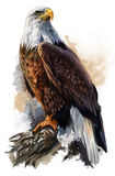The bald eagle. Watercolor painting Royalty Free Stock Image