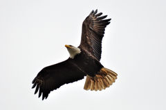 Bald eagle with white background Stock Photography