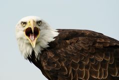 Bald eagle. With wide open bill Royalty Free Stock Image