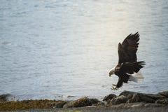 Bald eagle. Wild Bald Eagle on the coast Haida Gwaii British Columbia Canada Stock Photos