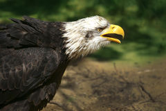 Bald eagle in the wild. Watching prey Royalty Free Stock Photos