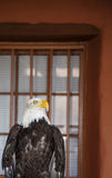 Bald Eagle by Window Stock Photography