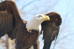 Bald Eagle. With wings out Stock Images