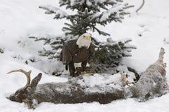 Bald eagle in winter. Bald eagle on deer kill Royalty Free Stock Image