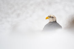 Bald eagle in winter Royalty Free Stock Images