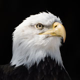 Bald Eagle XIII Royalty Free Stock Images