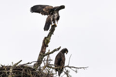 Bald Eagle Young at Nest Stock Images
