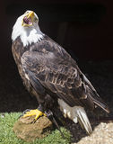 Bald eagle. In the zoo Stock Image