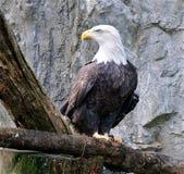 Bald Eagle2 Stock Photography