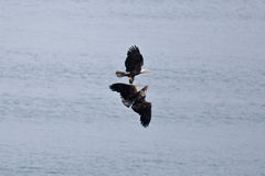Bald Eagles Royalty Free Stock Photography