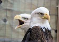 Bald Eagles. A pair of bald eagles with one looking solemn and the other screeching stock photo