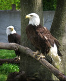 Bald Eagles. A pair of American bald eagles in captivity.  They were found injured and could not be released into the wild again Stock Image