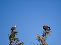 Bald Eagles Stock Photo