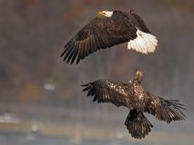 Bald Eagles Battle in flight for fish stock photos