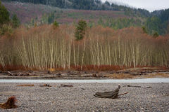 Bald Eagles. Eagles congregate on the Nooksack River, along the Mt. Baker highway in western Washington state, to feast on spawned out salmon carcasses during stock image