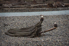 Bald Eagles. Eagles congregate on the Nooksack River, along the Mt. Baker highway in western Washington state, to feast on spawned out salmon carcasses during royalty free stock photos