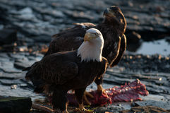 Bald eagles feeding on deer  carcass Stock Photos