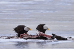 Bald eagles feeding on deer carcass Royalty Free Stock Images