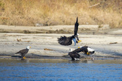 Bald Eagles Fighting Over Fish. Royalty Free Stock Photos