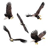 Bald eagles. Stock Image