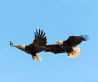 Bald Eagles in flight. Male and female bald eagles in flight Royalty Free Stock Images