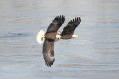 Bald Eagles (haliaeetus leucocephalus) Royalty Free Stock Photos