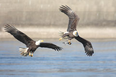 Bald Eagles (haliaeetus leucocephalus) Stock Photography