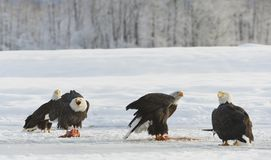 The Bald eagles  ( Haliaeetus leucocephalus ) Stock Image