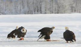 The Bald eagles  ( Haliaeetus leucocephalus ) Stock Image