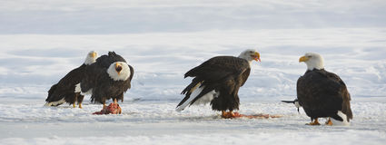 The Bald eagles  ( Haliaeetus leucocephalus ) Stock Images